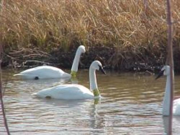Trumpeter Swans in Record Numbers at Riverlands